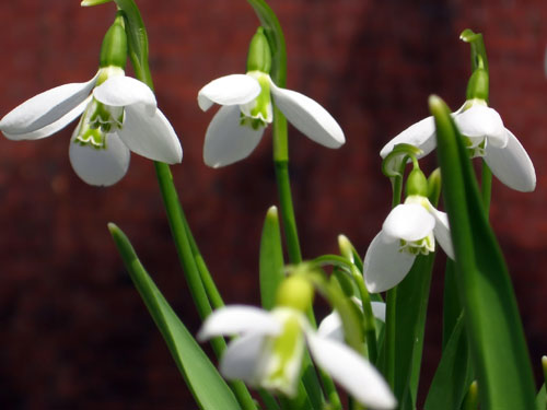 And she brought me snowdrops...